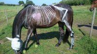 Sceleton horse