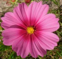 Krásenka - detail...  Cosmos bipinnatus...