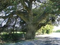 under the wedding oak