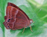 Plum Judy (Abisara echerius)