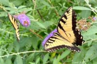 Yellow Swallowtail Butterflies