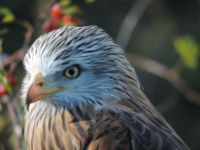 Scarlet the Red Kite
