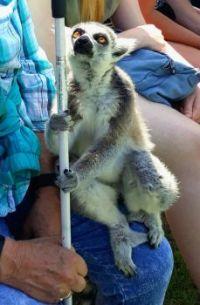 Inquisitive Lemur