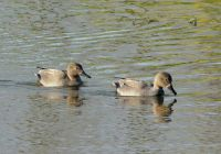 male gadwalls