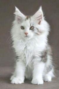 Fuzzy White Kitten