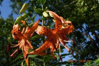 Old-fashioned Tiger Lily