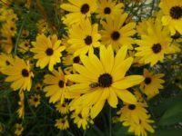 Maxmillian Sunflower
