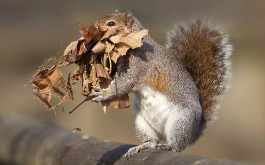 Squirrel Nesting