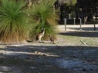 Kangaroos at Whiteman Park  Western Australia