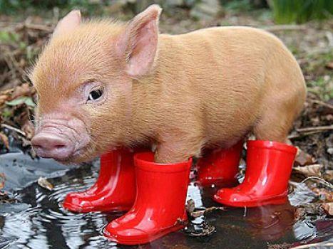 food taboos on pigs in muslim