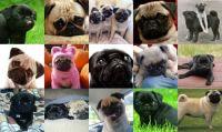 Pug love - small