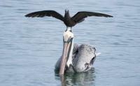 Pelican v Noddy