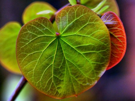 HDR of a Cercis siliquastrum leaf, in Gosberton churchyard - 1st May 2004