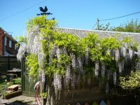 hunt the rabbit in the wisteria