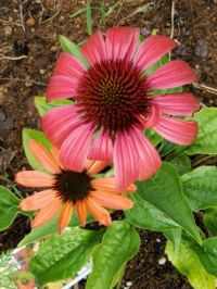 Colorful Cone Flowers