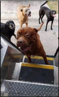 Adorable UPS-dogs queuing for cookies.