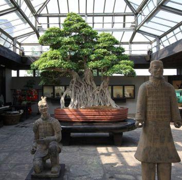 The Ficus Retusa Linn