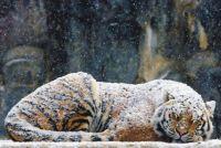 The Siberian or Amur Tiger