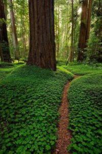 Redwoods in Clover