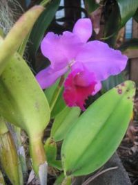 Dad's Orchid