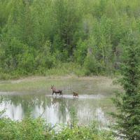 Moose mom and calf