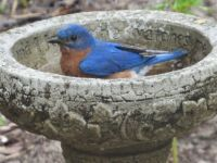 Eastern Bluebird Bath
