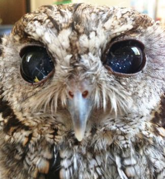 Meet Zeus: The Rescued Blind Owl with Stars in his Eyes