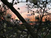 Star Magnolia at Sunset-4032x3024