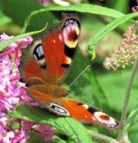 peacock butterfly (dagpauwoog)