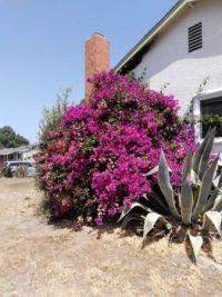květena California