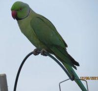 Male Rose-Ringed Parakeet