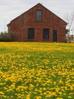 Dandelions-Prince Edward Island