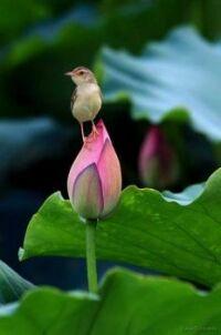 bird on Lotus bud