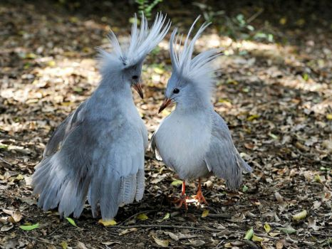 Kagu birds - New Caledonia. South Pacific Ocean
