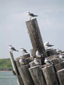 Galveston sea gulls