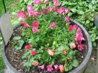 Begonia Barrel