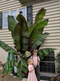 Big Banana Tree