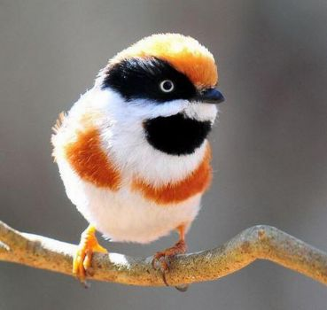Black-throated Bushtit - India & Asia