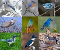 birds with blue