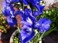 Close-up of my blue irises (I think)