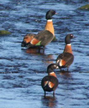 Mountain Duck; King Island Tas.