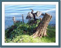 Cormorant on Lake Macquarie NSW