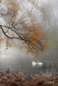 Hazy evening with the swans