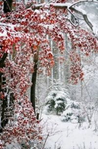 Snow Covered Maple Leaves