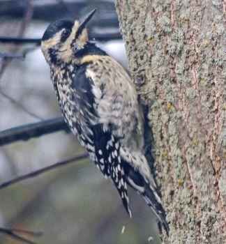 Yellow-Bellied Sapsucker Juvenile