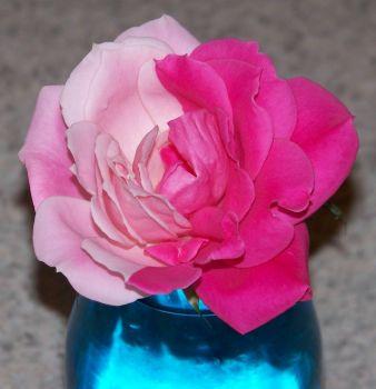 Bi-color rose