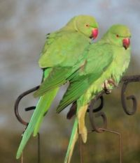 The Rose-Ringed Parakeets arrived to disturb the peace.