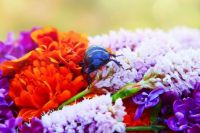 Flowers and Beetle