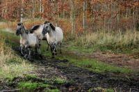 Frie heste, Falster, Danmark