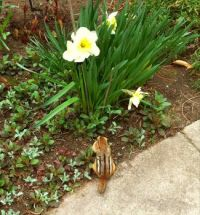 Cheeky Chipmunk checking out the spring flowers
